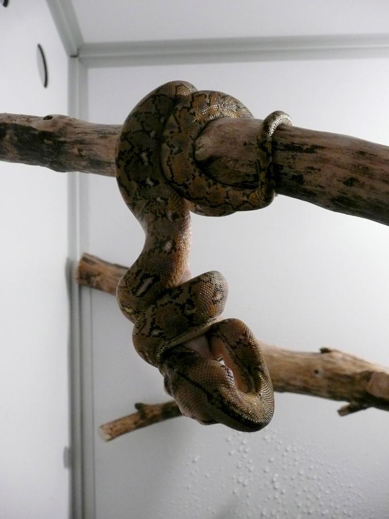 Malayopython reticulatus KALAOTOA Island  510