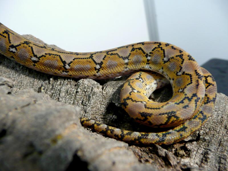 Malayopython reticulatus KALAOTOA Island  Kala_410