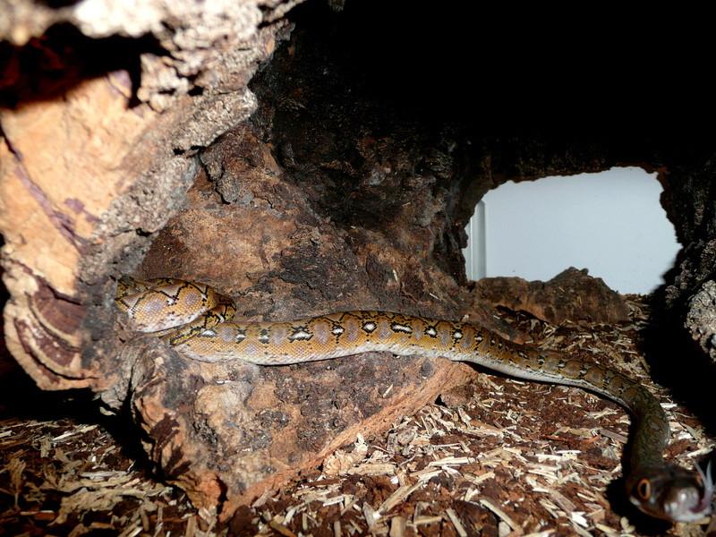 Malayopython reticulatus KALAOTOA Island  Yh10