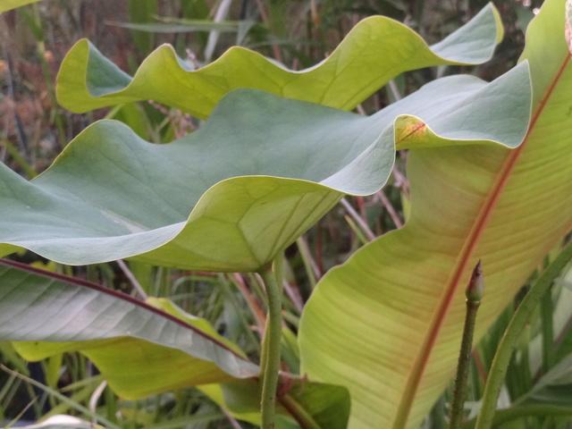 Nelumbo nucifera et horticoles - lotus sacré - Page 3 Dsc09511