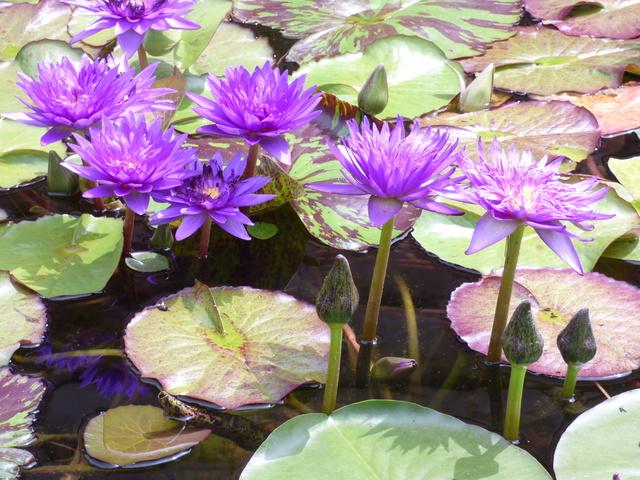 Aquatiques du Jardin des Martels P1080916