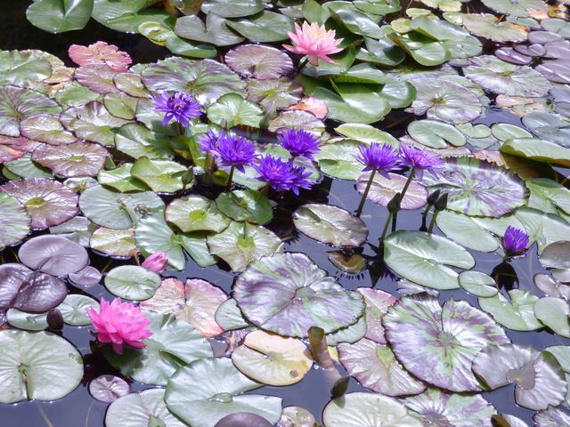 Aquatiques du Jardin des Martels P1080922