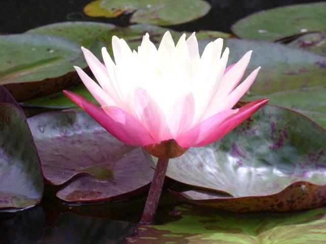 Aquatiques du Jardin des Martels P1080924