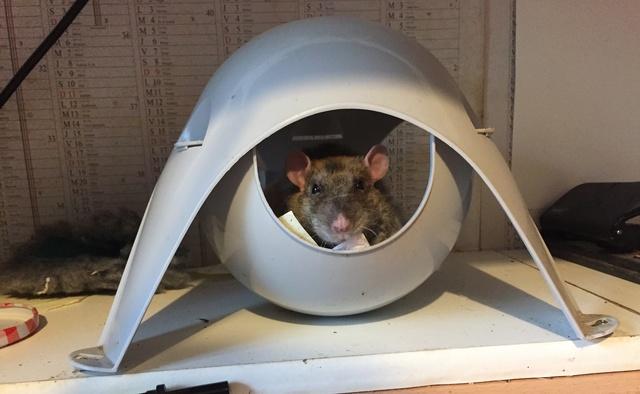 Et voici notre bébé Rat des champs : Ratatouille  - Page 11 Img_7912