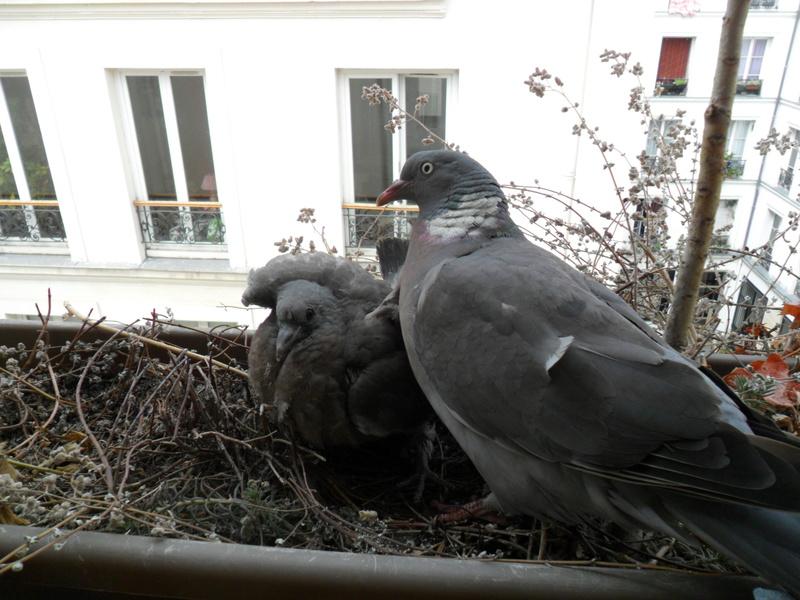 Pigeon Ramier  - Page 2 Sam_0722