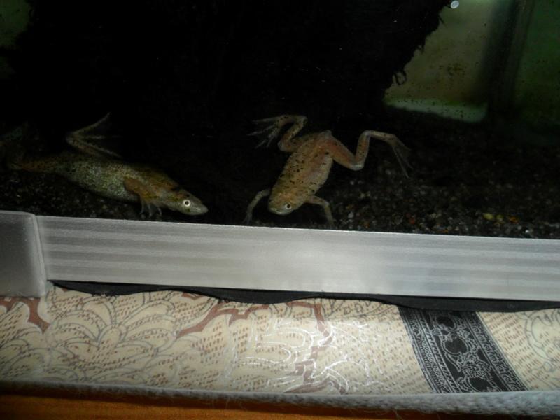 Mes grenouilles de petites tailles - Page 12 Sam_0735