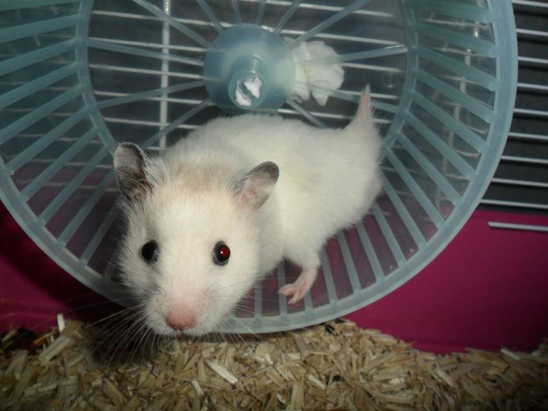 Un hamster nommé Dicoon Sam_0923