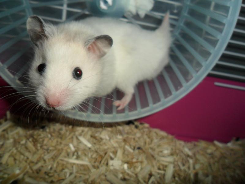 Un hamster nommé Dicoon Sam_0924