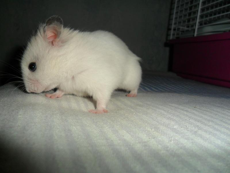 Un hamster nommé Dicoon Sam_0926