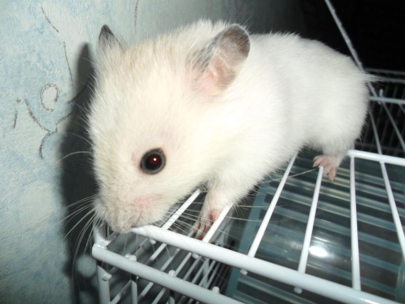 Un hamster nommé Dicoon Sam_1014