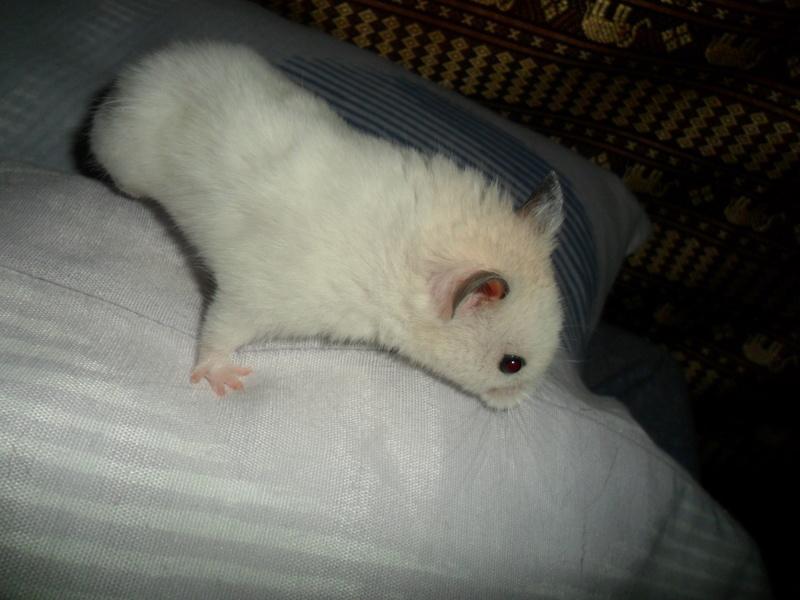 Un hamster nommé Dicoon Sam_1230