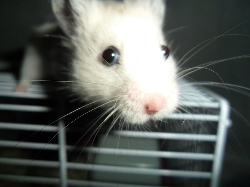 Un hamster nommé Dicoon Sam_1320