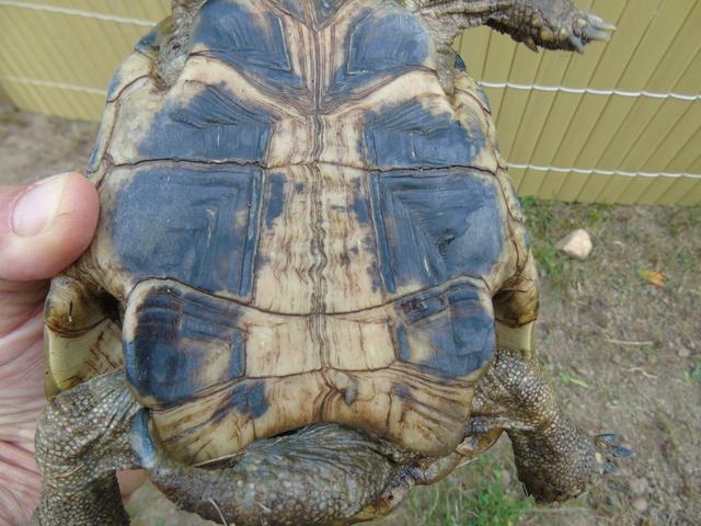 Identification de ma tortue trouvée  Dsc02310