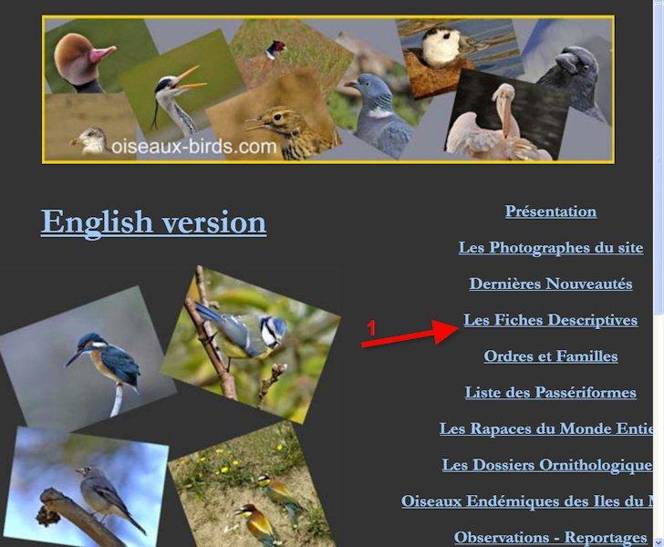 Excellent site pour les descriptions et comportements Oiseau10