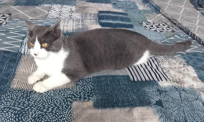 malcom - Malcom - chaton male gris et blanc - type européen né en juin 2016 20170210