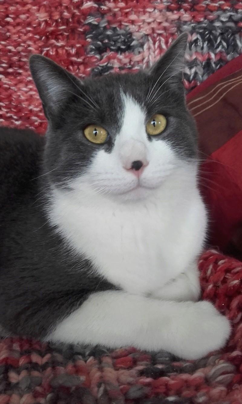 malcom - Malcom - chaton male gris et blanc - type européen né en juin 2016 20170310