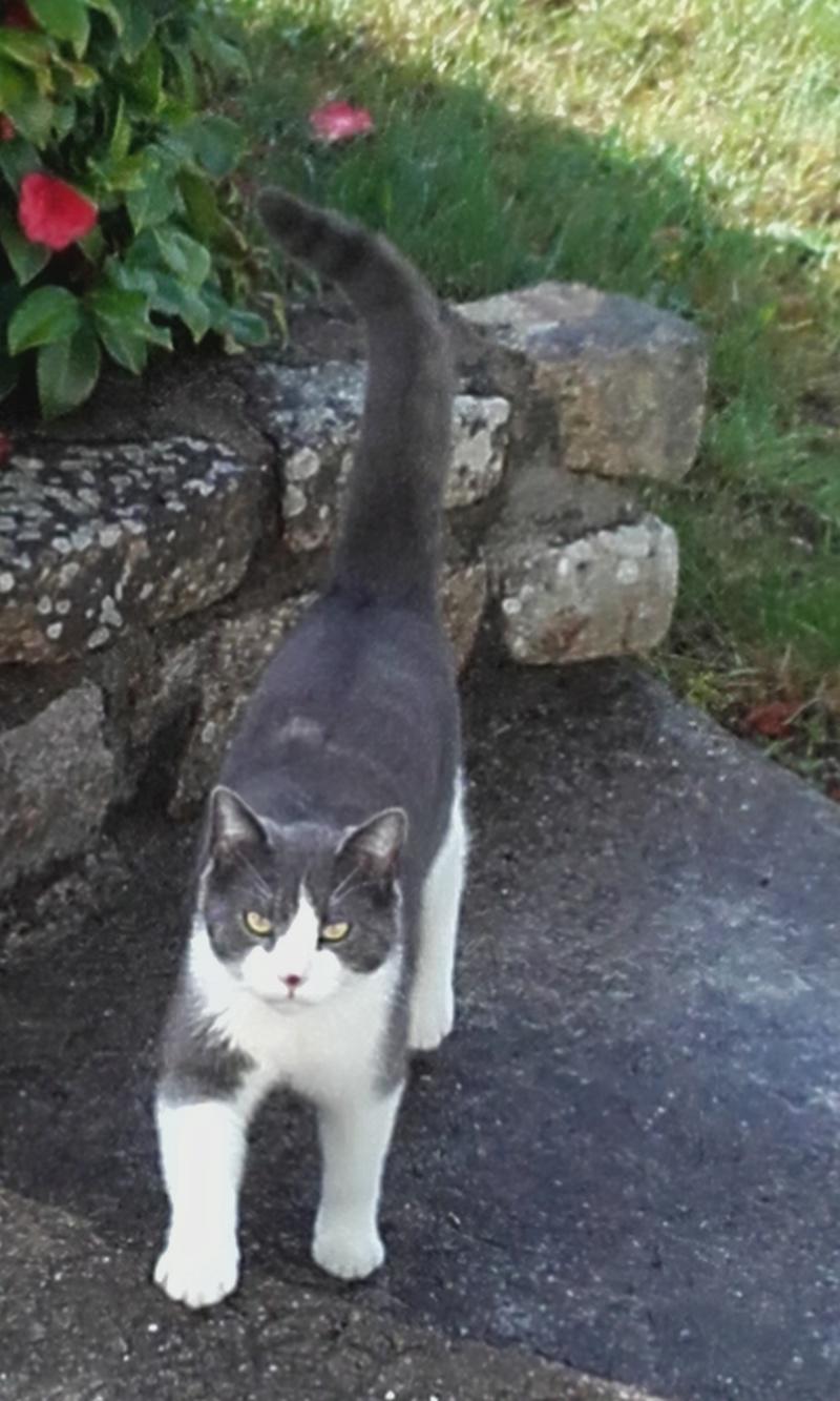 malcom - Malcom - chaton male gris et blanc - type européen né en juin 2016 20170510