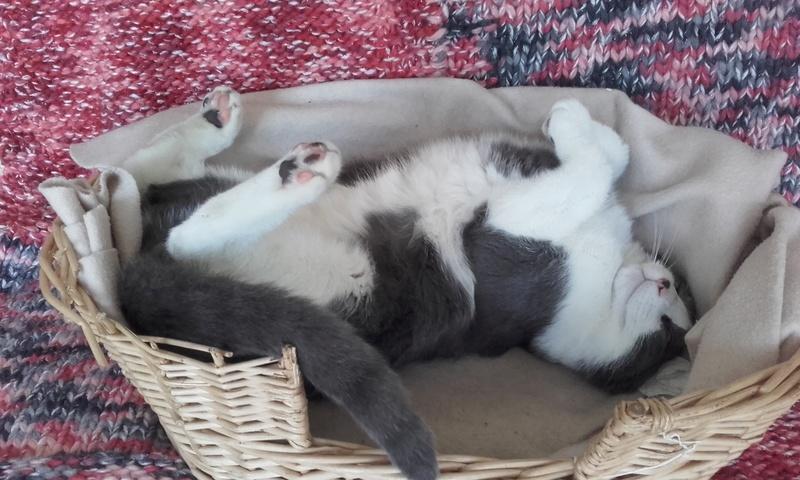 malcom - Malcom - chaton male gris et blanc - type européen né en juin 2016 20170511
