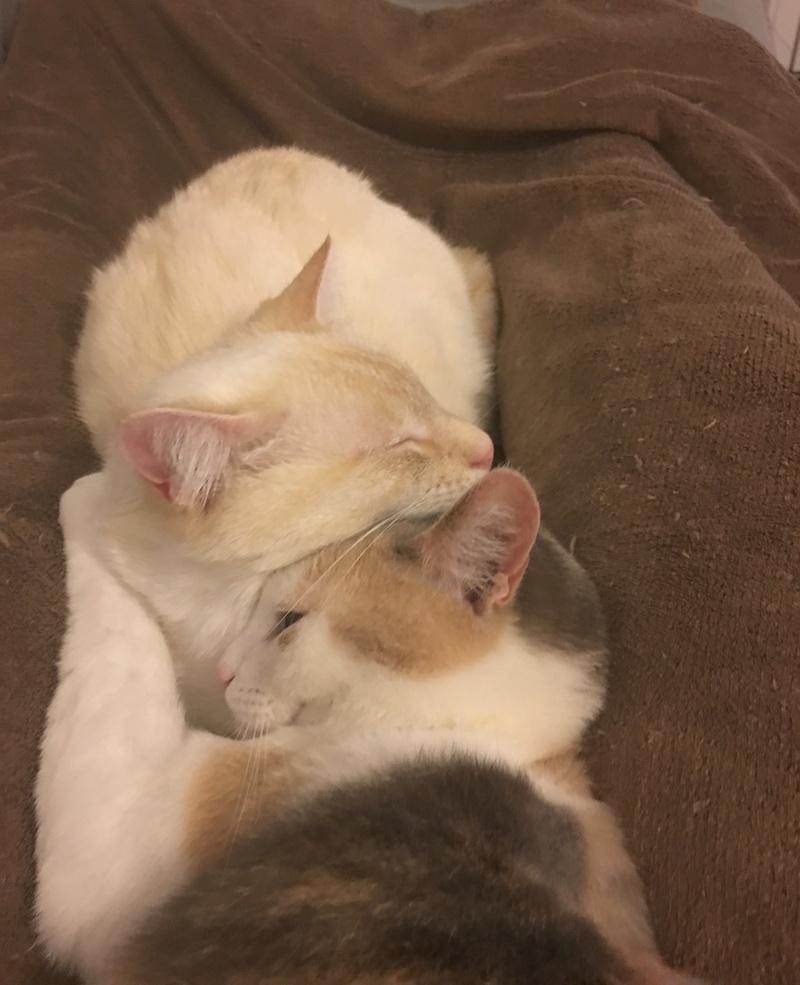 """lancome - Lancôme, jeune chat mâle crème """"red point"""", né en novembre 2015, EN DON LIBRE Fullsi10"""
