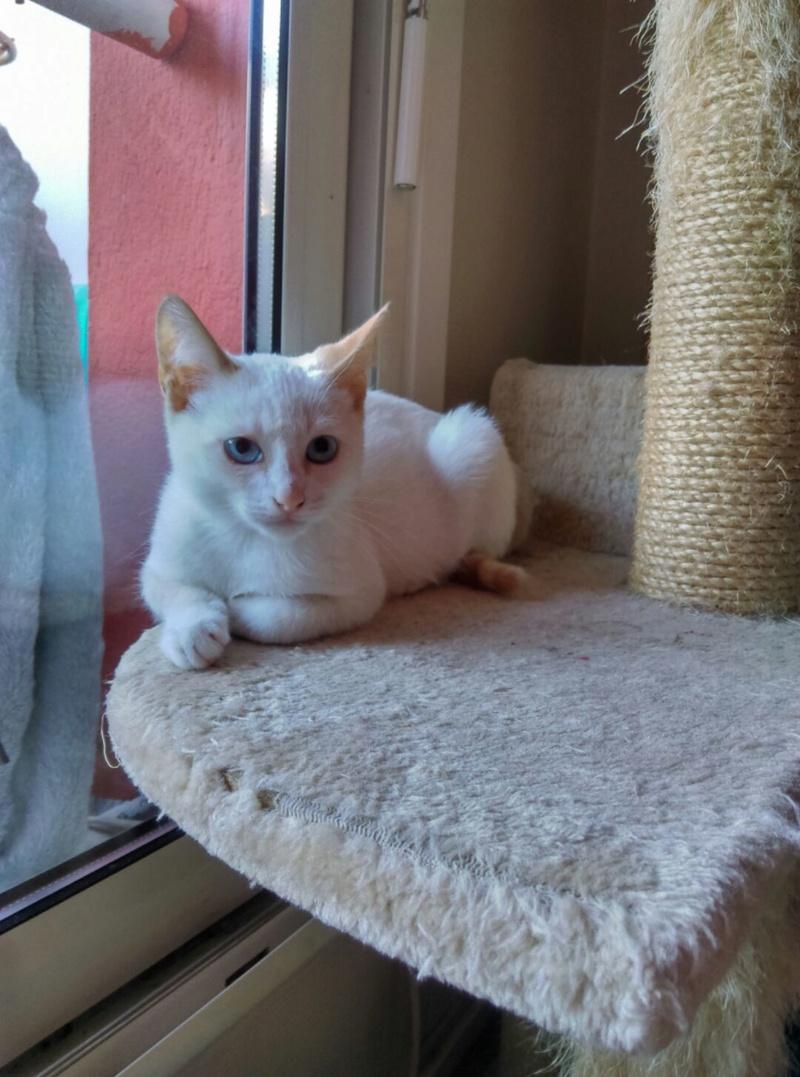 NORMAN, chaton européen blanc&roux, yeux bleux, né le 19/05/17 Imag1211