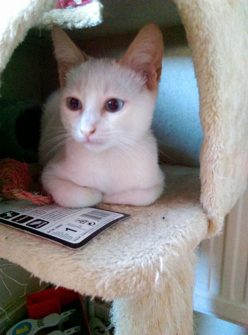 NORMAN, chaton européen blanc&roux, yeux bleux, né le 19/05/17 Imag1218