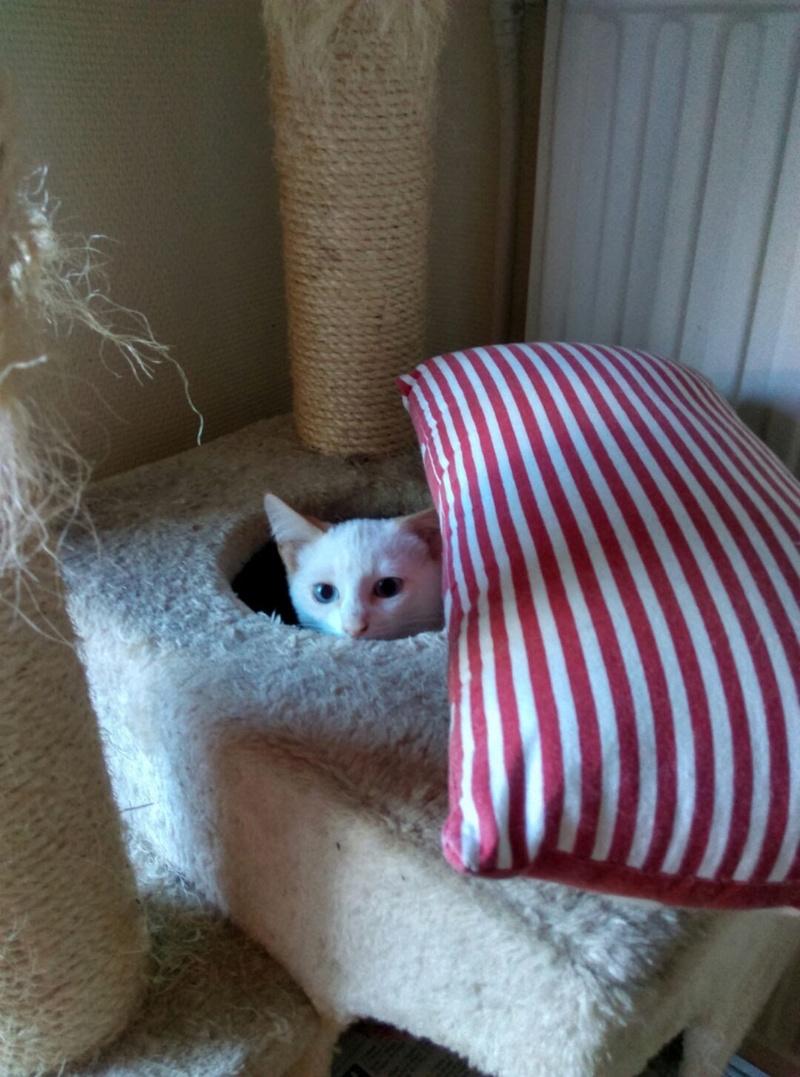 NORMAN, chaton européen blanc&roux, yeux bleux, né le 19/05/17 Imag1219
