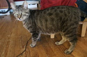 Javelot, chat mâle brown tabby de 2017 Img_4610