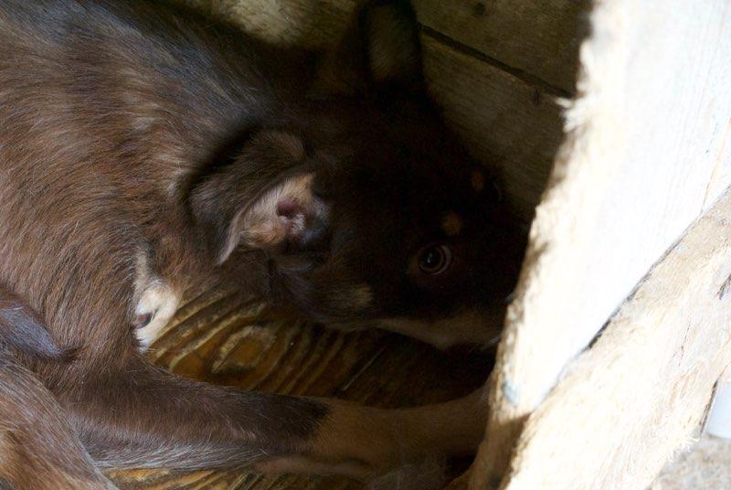 DEBBY - femelle croisée de petite taille, née en aout 2016 - (Pascani) REMEMBER ME Land, Adoptée par Nemo et Roussy(Belgique)  Debby10