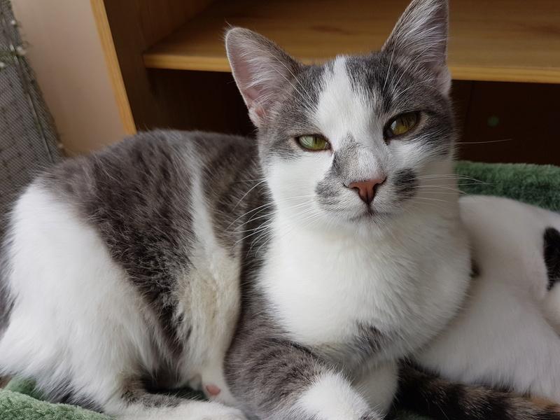 VOYOU, chaton mâle, né en Août/septembre 2016 (Pascani) - en FA chez Abysse (dpt92) - ADOPTE PAR VALERIE (92) 20170100