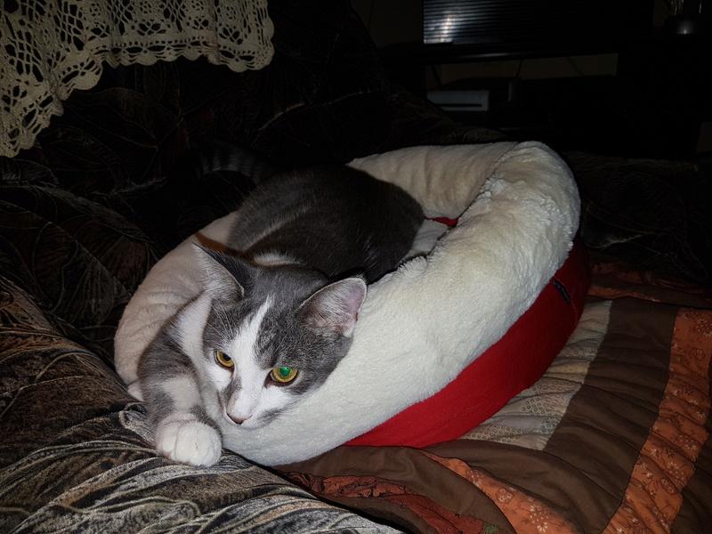 VOYOU, chaton mâle, né en Août/septembre 2016 (Pascani) - en FA chez Abysse (dpt92) - ADOPTE PAR VALERIE (92) 20170101