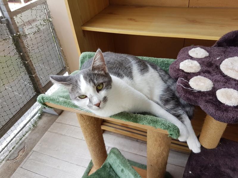 VOYOU, chaton mâle, né en Août/septembre 2016 (Pascani) - en FA chez Abysse (dpt92) - ADOPTE PAR VALERIE (92) 20170103