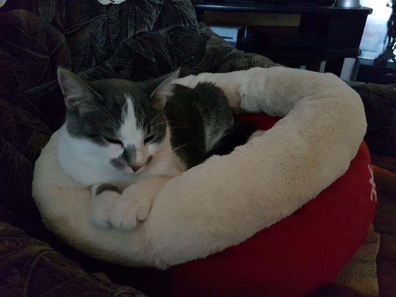 VOYOU, chaton mâle, né en Août/septembre 2016 (Pascani) - en FA chez Abysse (dpt92) - ADOPTE PAR VALERIE (92) 20170104