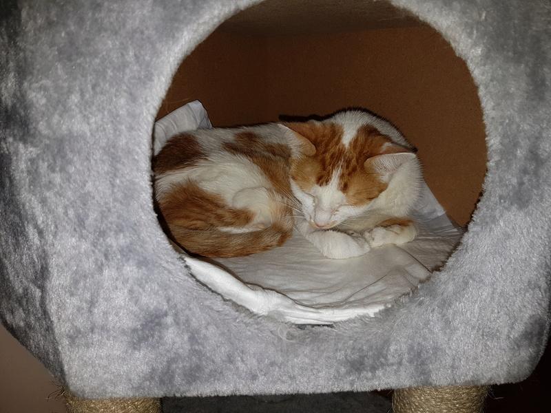 MITSY ( ex SATINE), chaton femelle née en mars 2016 - Pascani - adoptée par Abysse (dpt92) - PARTIE REJOINDRE LES ETOILES le 3 juillet 2017 .... - Page 2 20170615