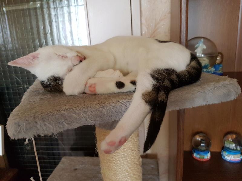 Mr SPOCK - chaton mâle, aveugle, né environ en mars 2017 - chez Lucian - Réservé FA par Abysse - Adopté par Valérie (92) 20170715