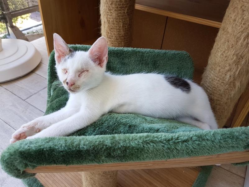 Mr SPOCK - chaton mâle, aveugle, né environ en mars 2017 - chez Lucian - Réservé FA par Abysse - Adopté par Valérie (92) 20170716