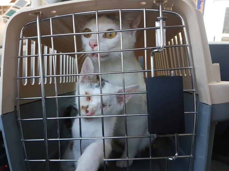 VODKA (ex KIARA) - chat femelle handicapée, née environ en 2015 - chez Lucian - Réservée FA par Abysse - ADOPTEE PAR VALERIE (92) 20170720