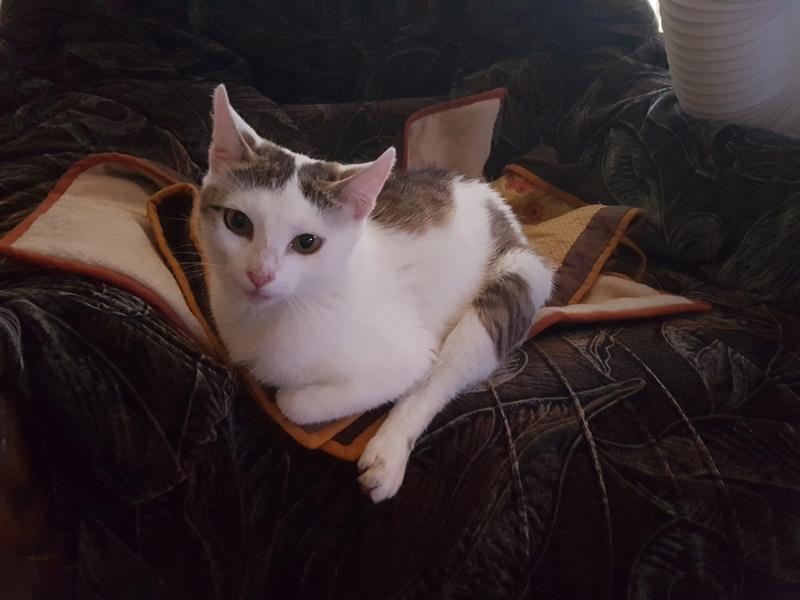 VODKA (ex KIARA) - chat femelle handicapée, née environ en 2015 - chez Lucian - Réservée FA par Abysse - ADOPTEE PAR VALERIE (92) 20170726