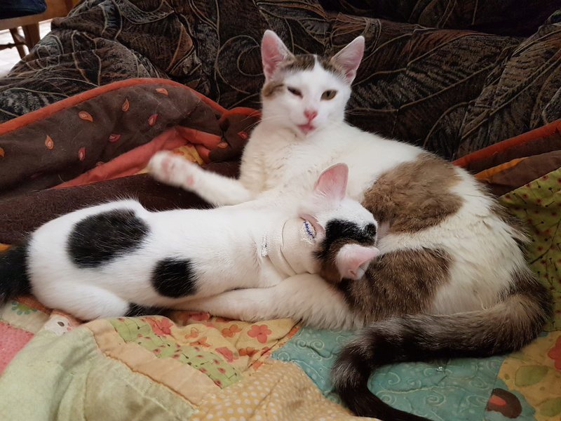 VODKA (ex KIARA) - chat femelle handicapée, née environ en 2015 - chez Lucian - Réservée FA par Abysse - ADOPTEE PAR VALERIE (92) 20170729