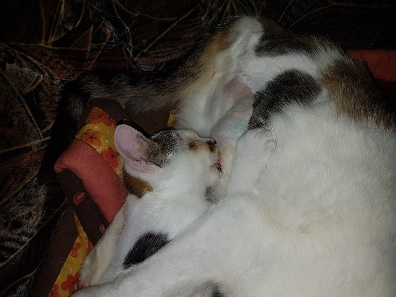 VODKA (ex KIARA) - chat femelle handicapée, née environ en 2015 - chez Lucian - Réservée FA par Abysse - ADOPTEE PAR VALERIE (92) 20170731
