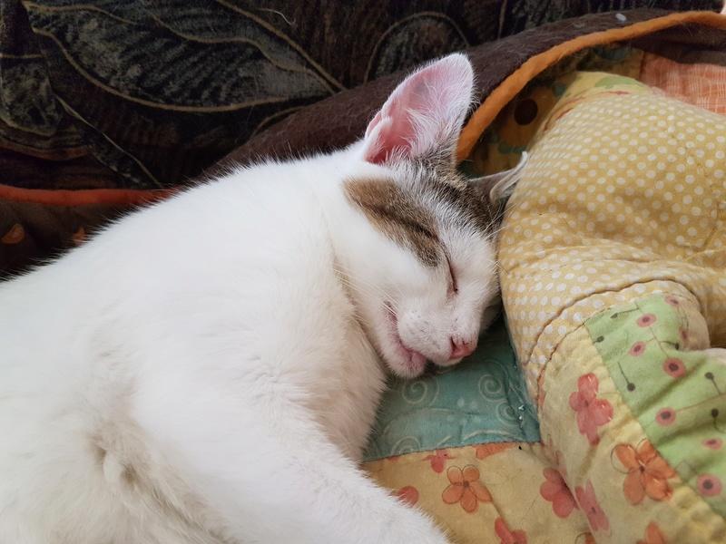 VODKA (ex KIARA) - chat femelle handicapée, née environ en 2015 - chez Lucian - Réservée FA par Abysse - ADOPTEE PAR VALERIE (92) 20170732