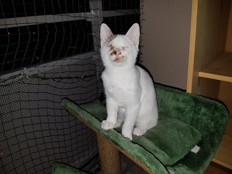 Mr SPOCK - chaton mâle, aveugle, né environ en mars 2017 - chez Lucian - Réservé FA par Abysse - Adopté par Valérie (92) 20170773