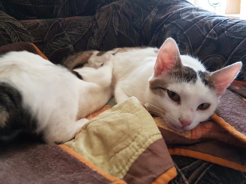 VODKA (ex KIARA) - chat femelle handicapée, née environ en 2015 - chez Lucian - Réservée FA par Abysse - ADOPTEE PAR VALERIE (92) 20170780