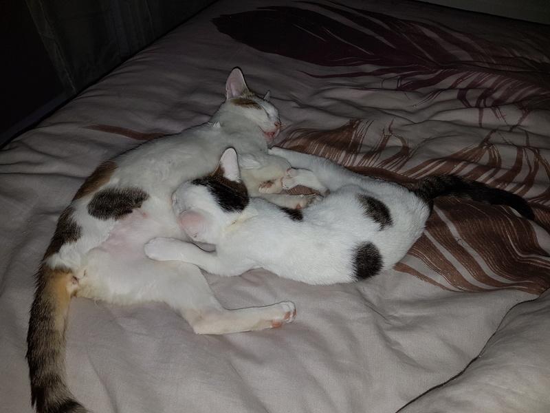 VODKA (ex KIARA) - chat femelle handicapée, née environ en 2015 - chez Lucian - Réservée FA par Abysse - ADOPTEE PAR VALERIE (92) 20170781