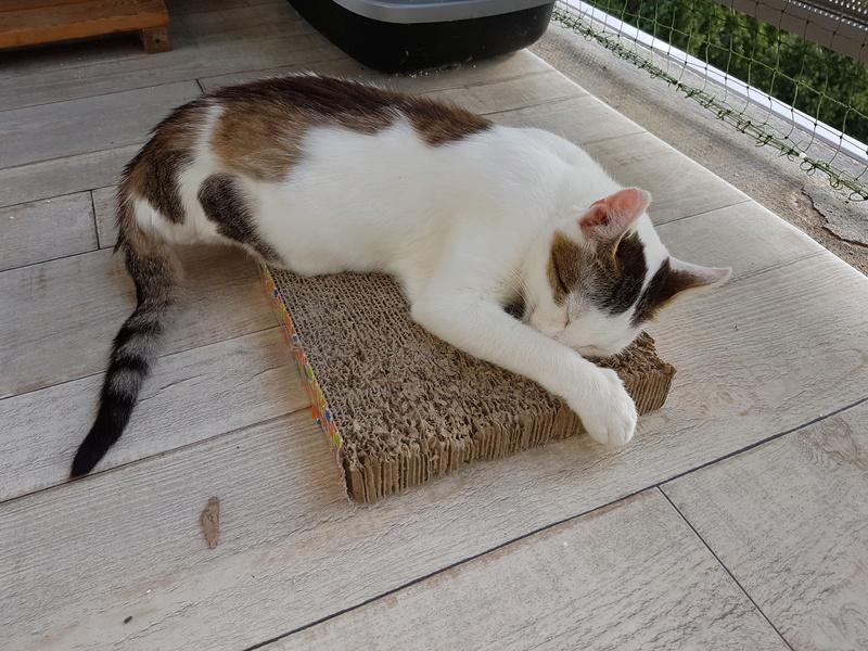 VODKA (ex KIARA) - chat femelle handicapée, née environ en 2015 - chez Lucian - Réservée FA par Abysse - ADOPTEE PAR VALERIE (92) 20170782