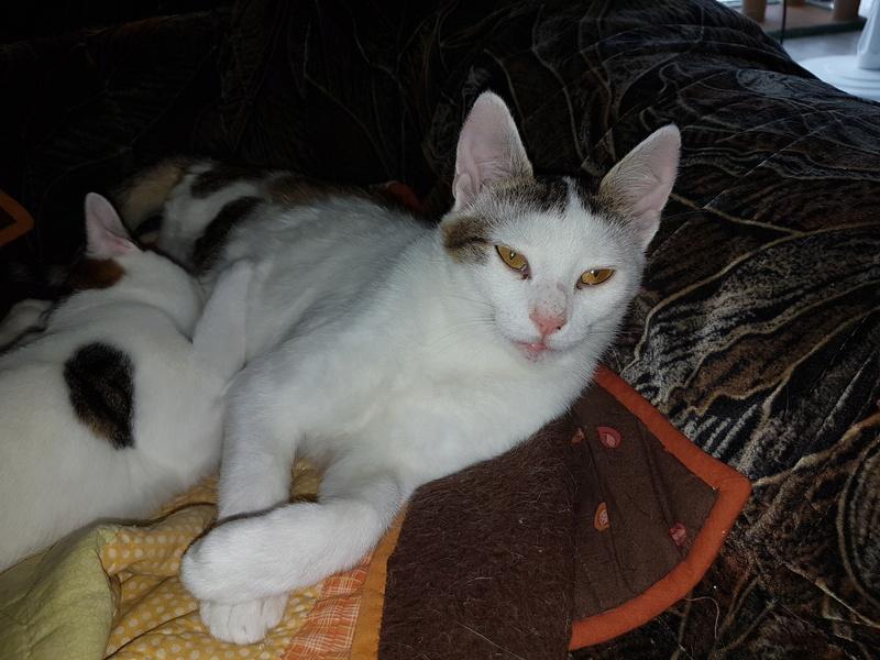 VODKA (ex KIARA) - chat femelle handicapée, née environ en 2015 - chez Lucian - Réservée FA par Abysse - ADOPTEE PAR VALERIE (92) 20170783