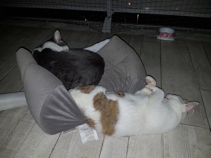 VODKA (ex KIARA) - chat femelle handicapée, née environ en 2015 - chez Lucian - Réservée FA par Abysse - ADOPTEE PAR VALERIE (92) 20170792
