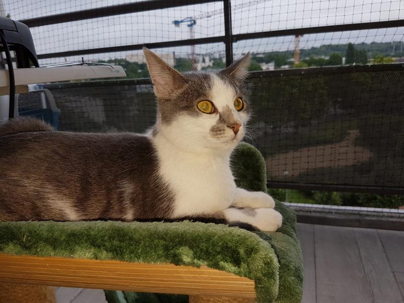 VOYOU, chaton mâle, né en Août/septembre 2016 (Pascani) - en FA chez Abysse (dpt92) - ADOPTE PAR VALERIE (92) 20170798