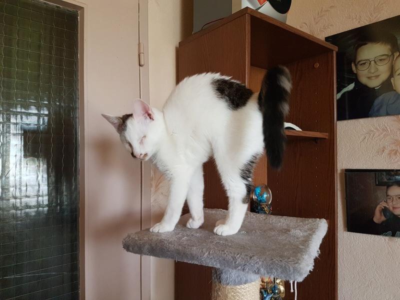Mr SPOCK - chaton mâle, aveugle, né environ en mars 2017 - chez Lucian - Réservé FA par Abysse - Adopté par Valérie (92) 20170811