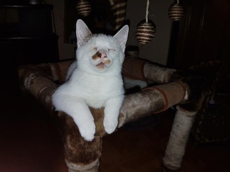 Mr SPOCK - chaton mâle, aveugle, né environ en mars 2017 - chez Lucian - Réservé FA par Abysse - Adopté par Valérie (92) 20170817