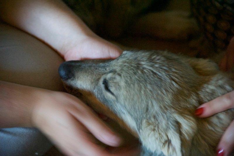 MEZZO- chiot male typé chien loup tchéchoslovaque- né environ en mars 2017 - REMEMBER ME LAND  - adopté par Katy (55) Alto211